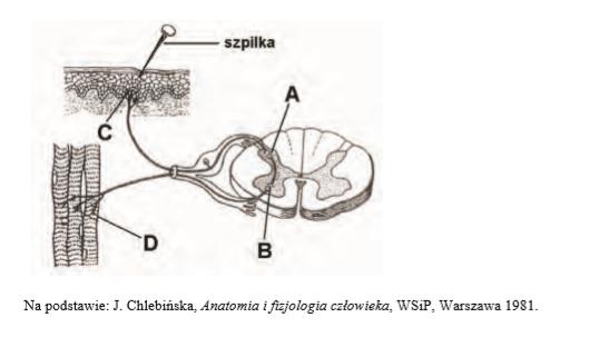 Mechanizm działania łuku odruchowego.