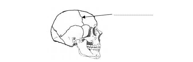 Budowa czaszki człowieka.