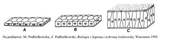Rodzaje i budowa nabłonka jednowarstwowego.