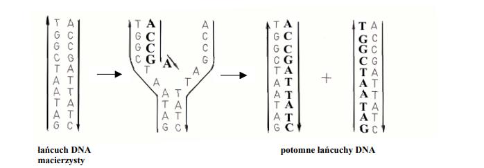 Przebieg replikacji DNA.
