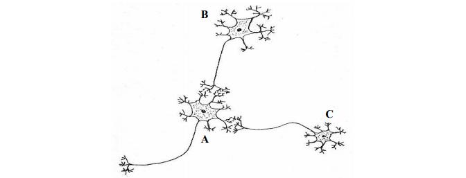 Kierunek przewodzenia impulsu nerwowego.