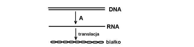 Etapy syntezy białka w komórce.