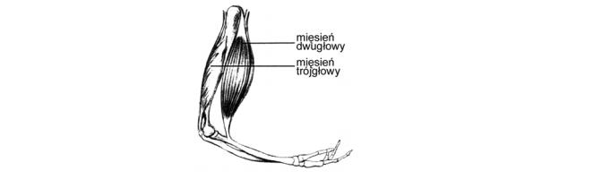 Mięsień dwugłowy i trójgłowy ramienia.