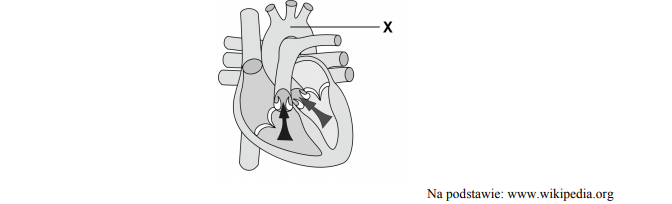 Budowa serca oraz naczyń krwionośnych wychodzących z serca.