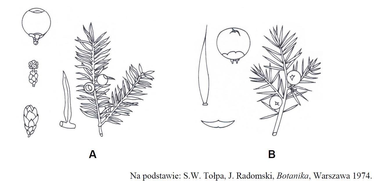 Rozpoznawanie roślin iglastych. Rośliny nagonasienne.