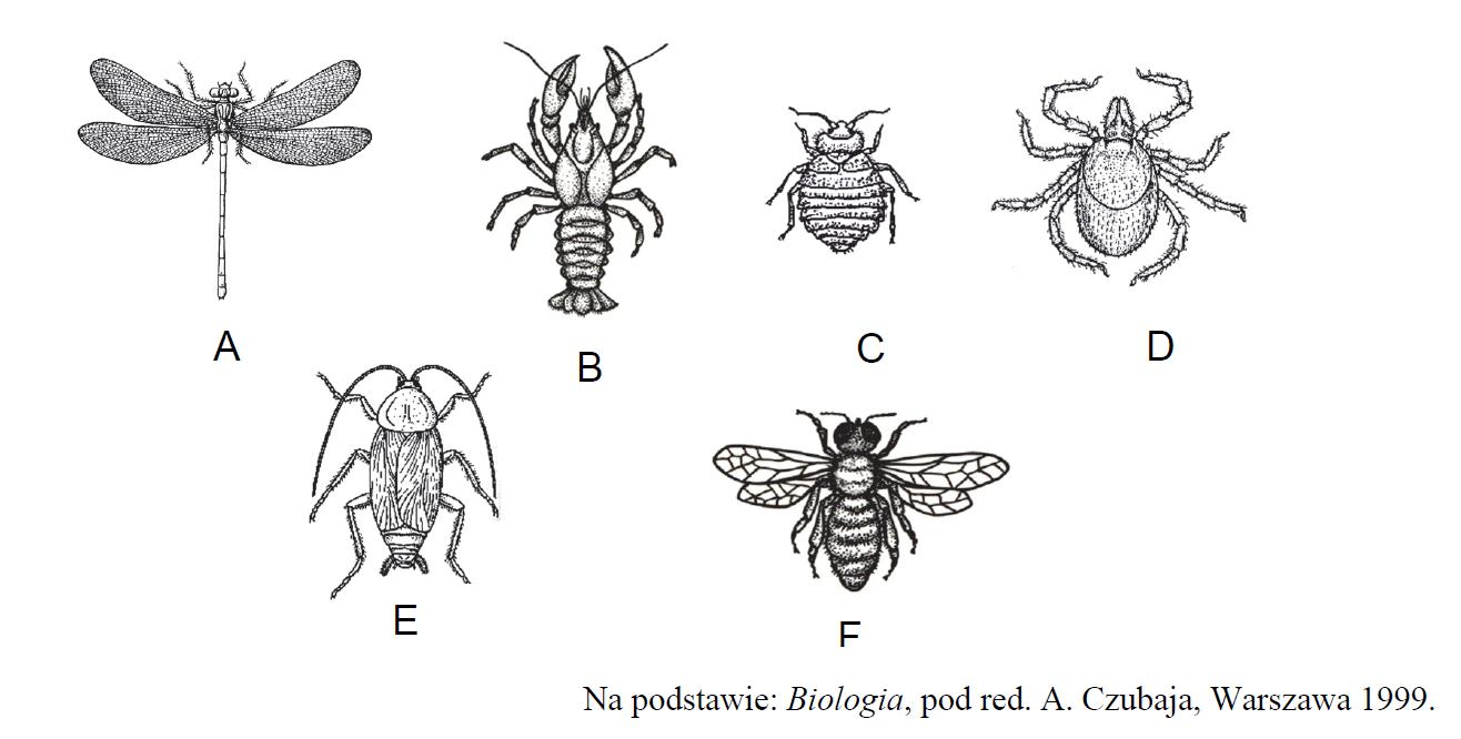 Rysunki stawonogów: skorupiaków, owadów, pajęczaków