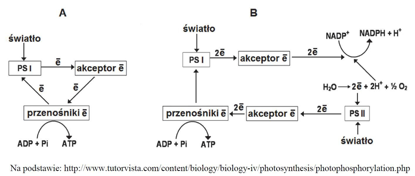 Faza fotosyntezy zależna od światła. Fosforylacja cykliczna i niecykliczna.