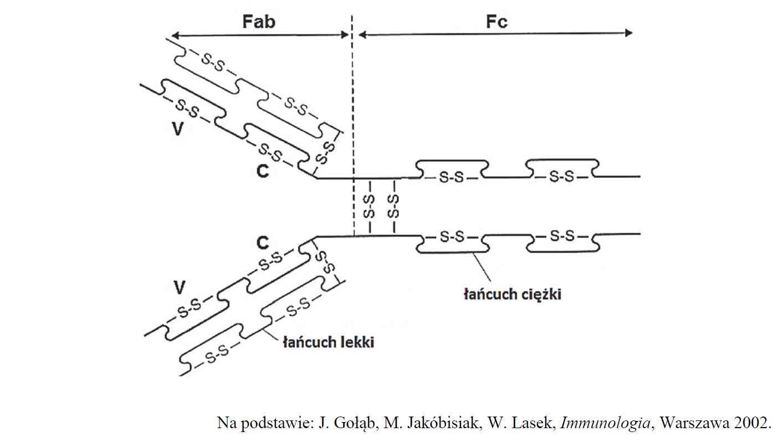 Budowa przeciwciał IgG, łańcuchy lekkie i łańcuchy ciężkie.