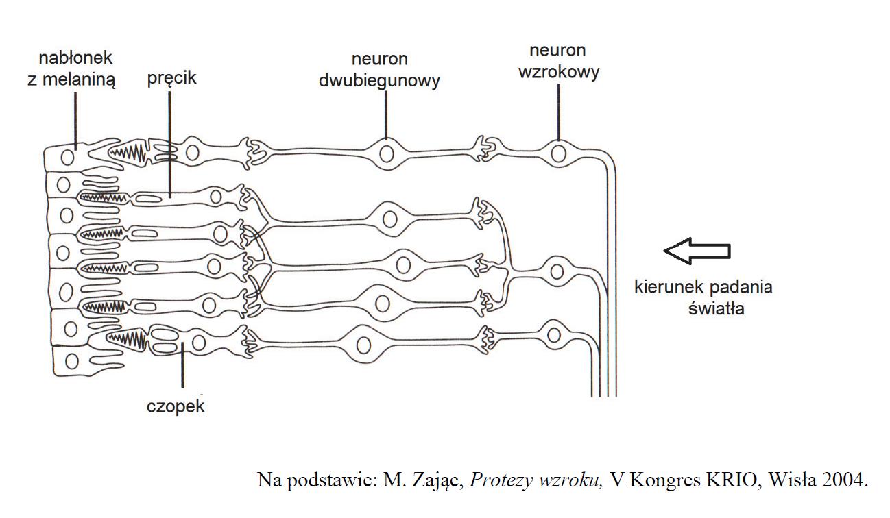 Budowa siatkówki oka. Neuron dwubiegunowy.