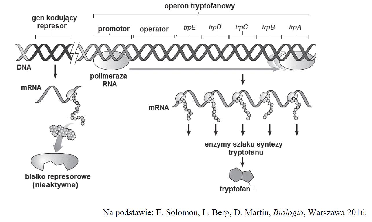Operon tryptofanowy u bakterii.