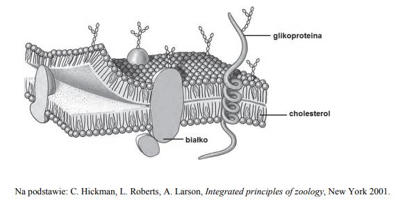 Budowa błony komórkowej komórki zwierzęcej.
