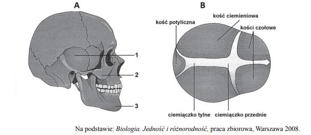 Nazwy kości czaszki. Znaczenie ciemiączka.