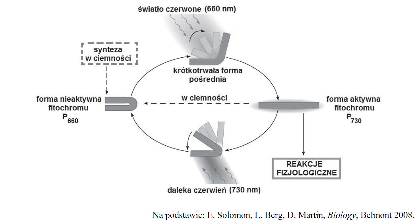 Rośliny dnia krótkiego i długiego. Mechanizm działania fitochromu.