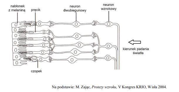 Komórki światłoczułe. Komórki i pręciki. Neuron dwubiegunowy w oku.