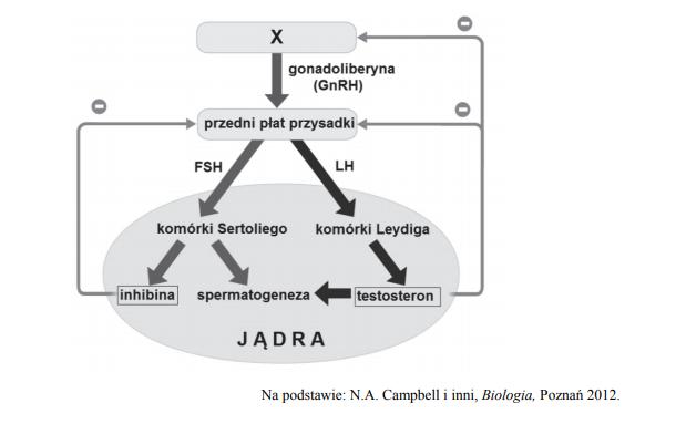 Mechanizm hormonalnej kontroli aktywności gonad męskich.