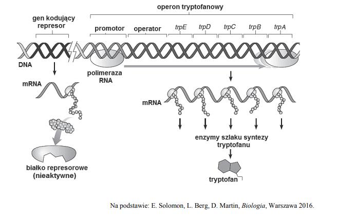 Mechnizm działania operonu tryptofanowego. Mutacja represora.