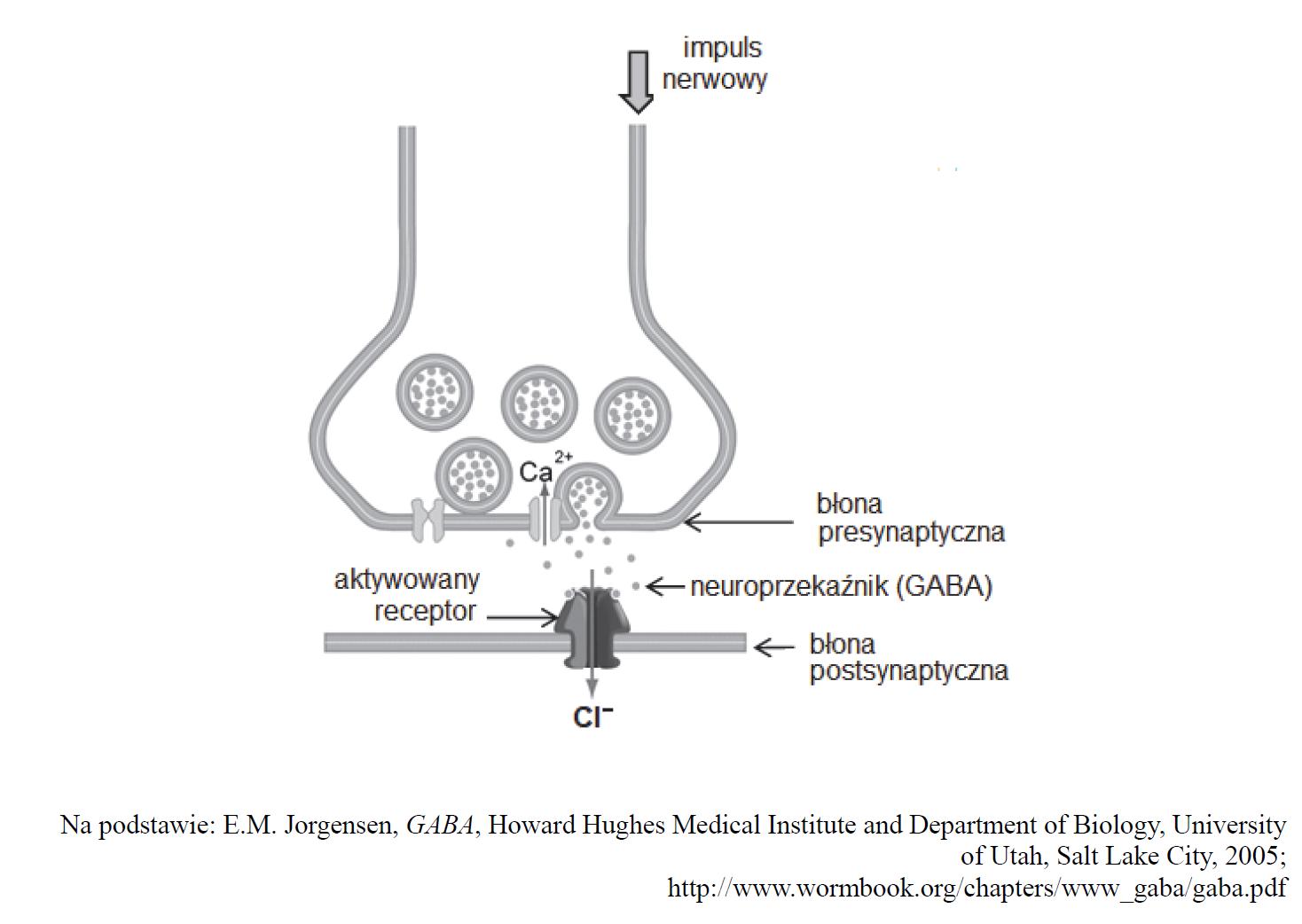 Sposób przekazywania impulsu nerwowego przez synapsę, w której neuroprzekaźnikiem jest kwas ɣ-aminomasłowy (GABA).