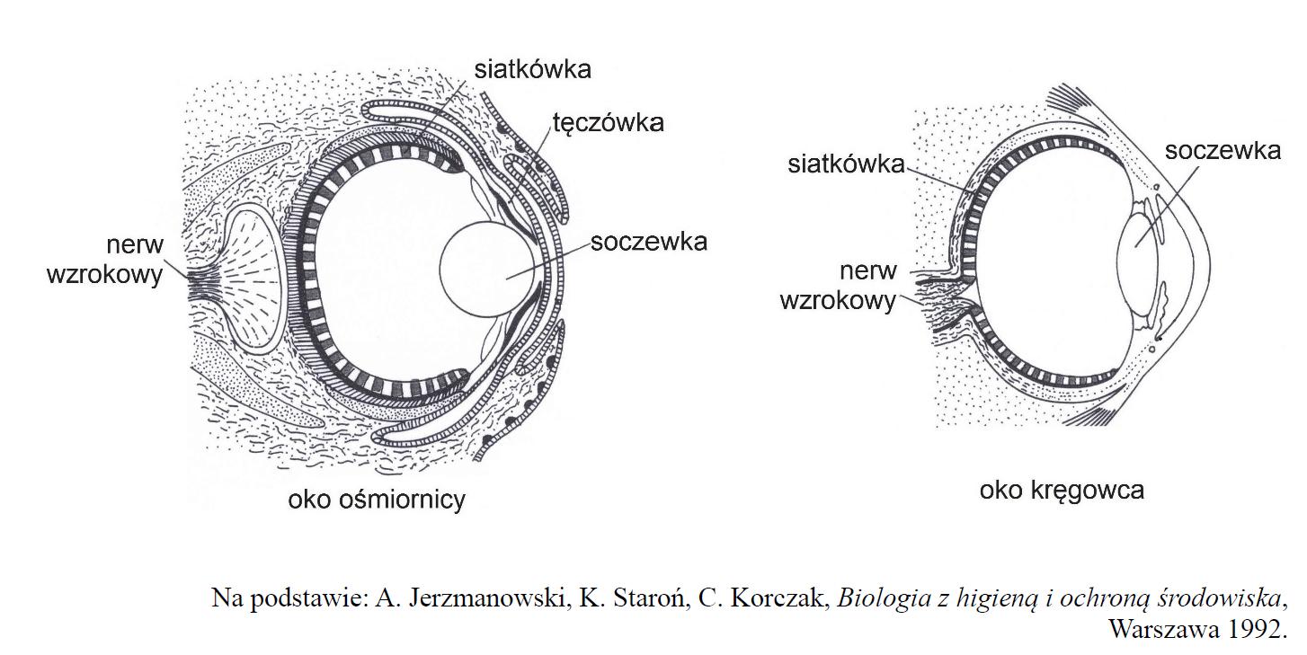Oko ośmiornicy i oko kręgowca.