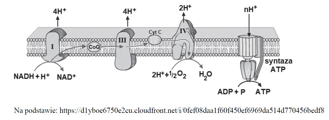 Struktura i funkcjonowanie łańcucha oddechowego.
