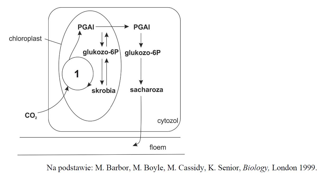 Proces asymilacji CO2 oraz przemiany jej produktów zachodzące w komórce mezofilu.