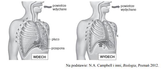 Zmiany objętości klatki piersiowej podczas wdechu i wydechu.