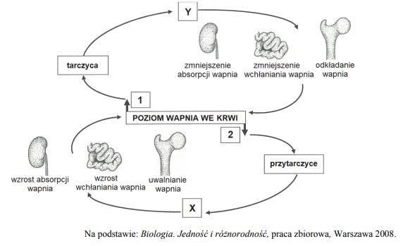 Regulacja stężenia wapnia w organizmie poprzez hormony.