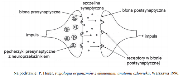 Różnice w przemieszczaniu się impulsu w obrębie synapsy neuronu i błony.