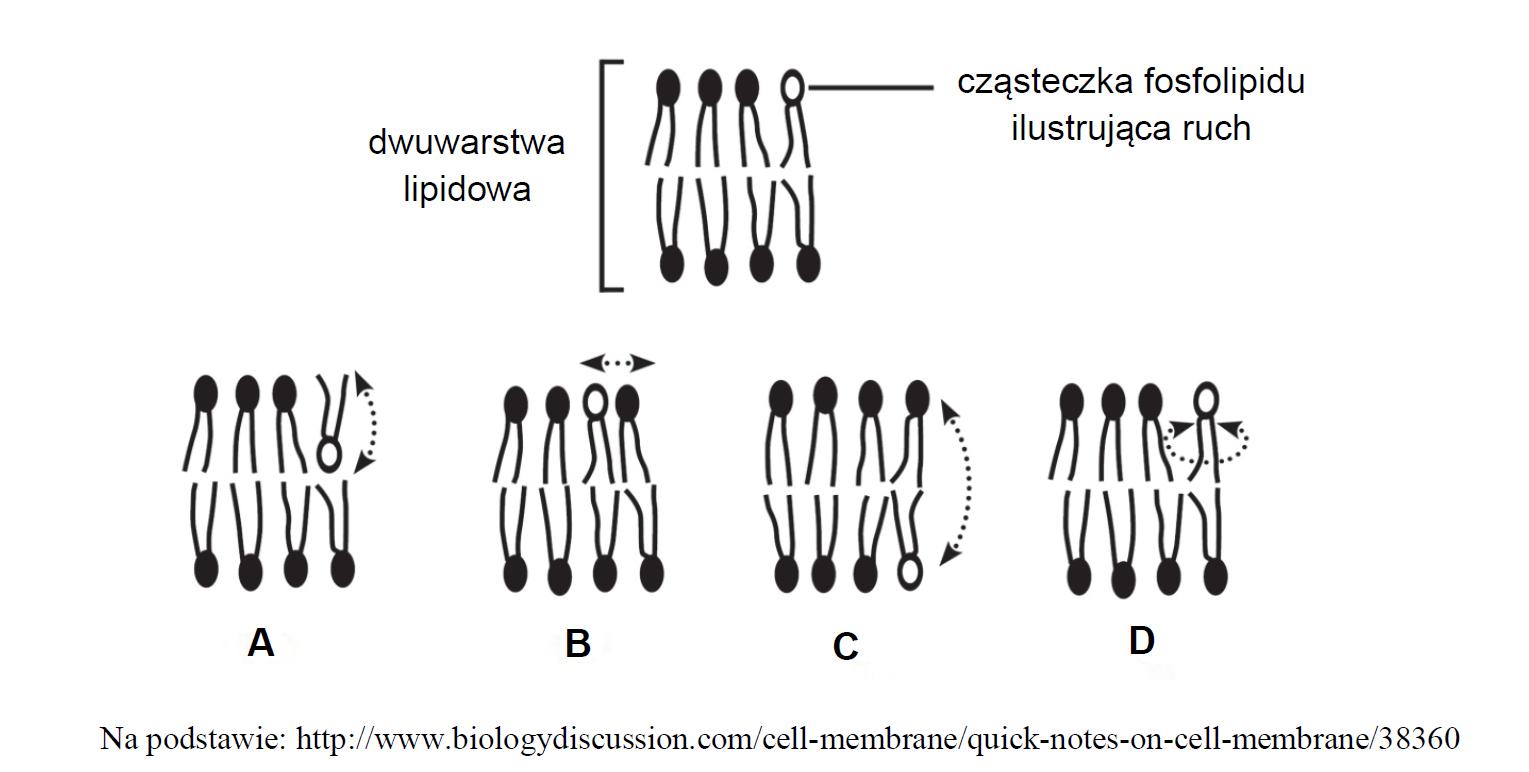 Budowa błony komórkowej, dwuwarstwa fosfolipidowa