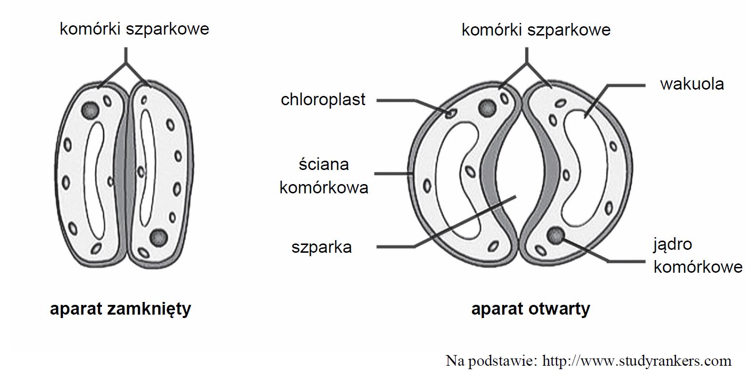 Mechanizm otwierania i zamykania aparatu szparkowego.