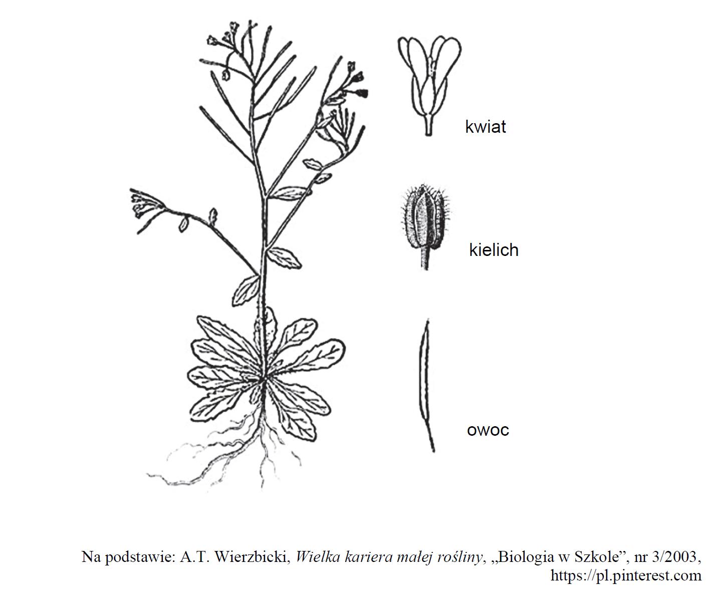 Kwiat, kielich i owoc. Klasa roślin okrytonasiennych.