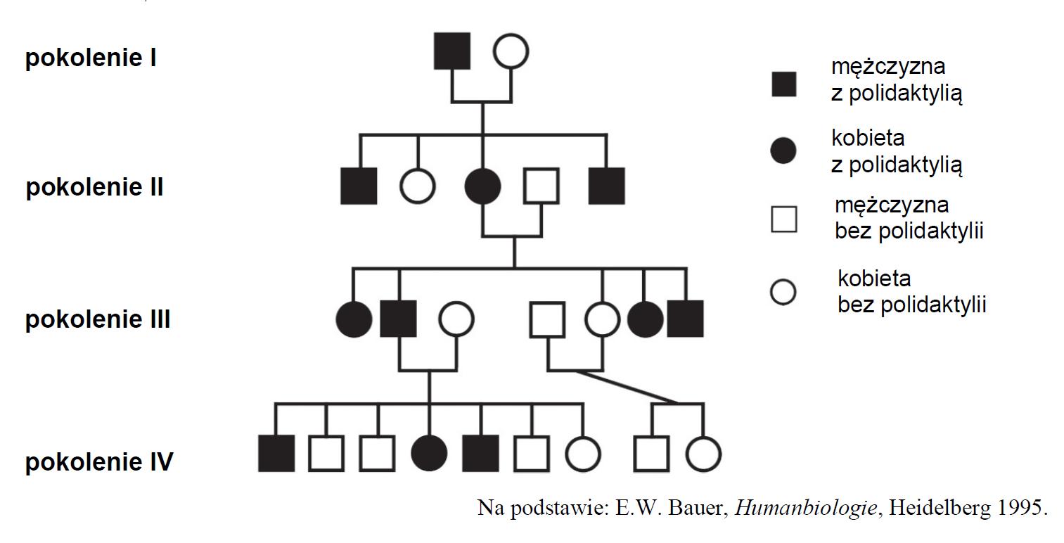 Dziedziczenie polidaktylii – efekt mutacji.