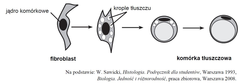 Fibroblasty tkanki łącznej. Przekształcanie fibroblastów w adipocyty.